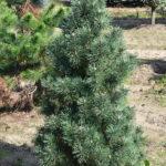 Pinus mugo 'Columbo'