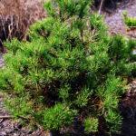 Pinus mugo 'Michal'