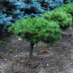 Pinus mugo 'Nerost'