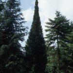 Abies alba 'Pyramidalis'