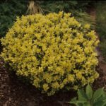 Buxus sempervirens 'Aurea'