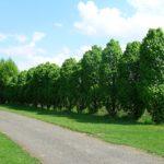 Carpinus betulus 'Columnaris'