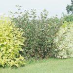 Cornus alba - odmiany
