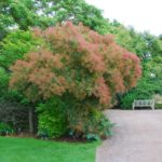 Cotinus coggygria 'Rubrifolius Group'