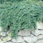 Cotoneaster dammeri 'Mooncreeper'