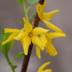 Forsythia intermedia 'Flojor'