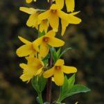 Forsythia intermedia 'Goldzauber'