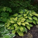 Hosta 'Bright Lights'