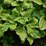 Hosta 'Fragrant Bouquet'