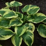 Hosta 'Wide Brim'