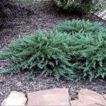 Juniperus sabina 'Tamariscifolia'