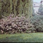Kolkwitzia amabilis