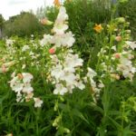 Penstemon 'Thorn'