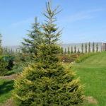 Picea abies 'Końca'