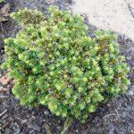 Picea abies 'Paleček'