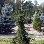 Picea abies 'Pendula Major'