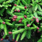 Picea abies 'Pusch'