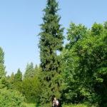 Picea abies 'Rothenhaus'