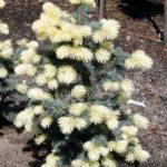 Picea pungens 'Białobok'