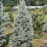 Picea pungens 'Iseli Fastigiate'