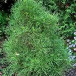Pinus nigra 'Spielberg'
