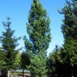 Pinus wallichiana 'Densa'