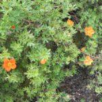 Potentilla fruticosa 'Hopley's Orange'