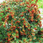 Pyracantha coccinea 'Leylandei'