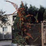 Pyracantha coccinea 'Red Column'