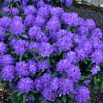 Rhododendron 'Alfred'
