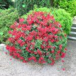Rhododendron 'Baden-Baden'