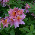 Rhododendron 'Berryrose'