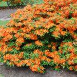 Rhododendron 'Coccineum Speciosum'