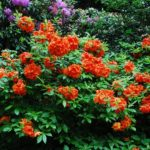 Rhododendron 'Gibraltar'