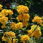 Rhododendron 'Goldstuck'