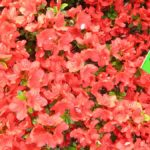 Rhododendron 'Kermesina Rose'