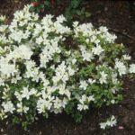Rhododendron 'Schneeglanz'