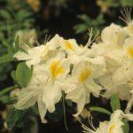 Rhododendron 'Schneegold'