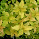 Spiraea japonica 'Candlelight'