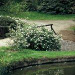 Viburnum carlesii 'Juddii'