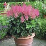 Astilbe 'Tought of Pink'