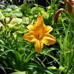Hemerocallis 'Golden Prize'