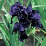 Iris 'Black Hills'