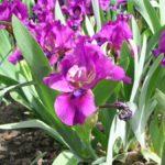 Iris 'Raspberry Jam'