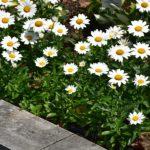 Leucanthemum 'Snow Cap'