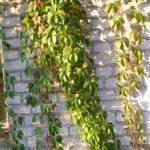 Parthenocissus quinquefolia var. murorum