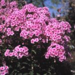 Phlox paniculata 'Miss Pepper'