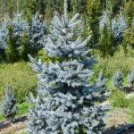 Picea pungens 'Hoopsii'