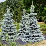 Picea pungens 'Hoto'