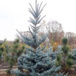 Picea pungens 'Iseli Foxtail'